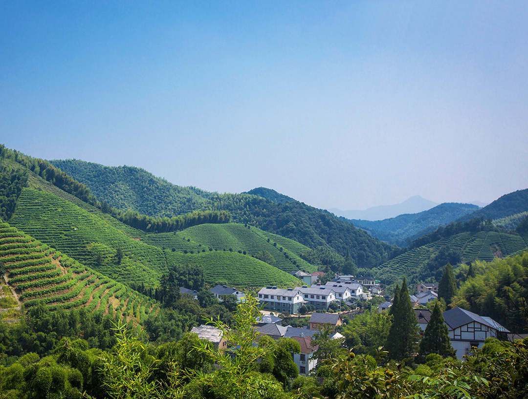 径山禅村采茶区